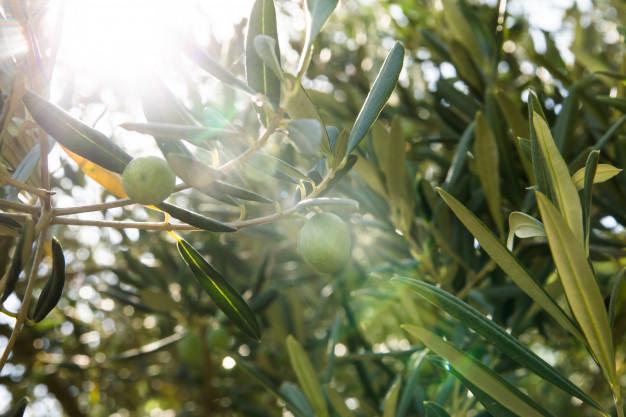 olivo. aceite de oliva